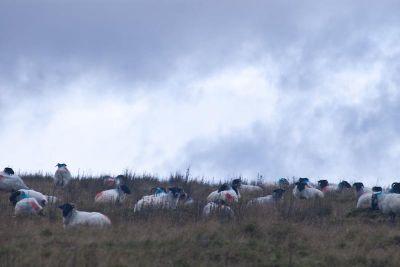 Sheep of Connemara