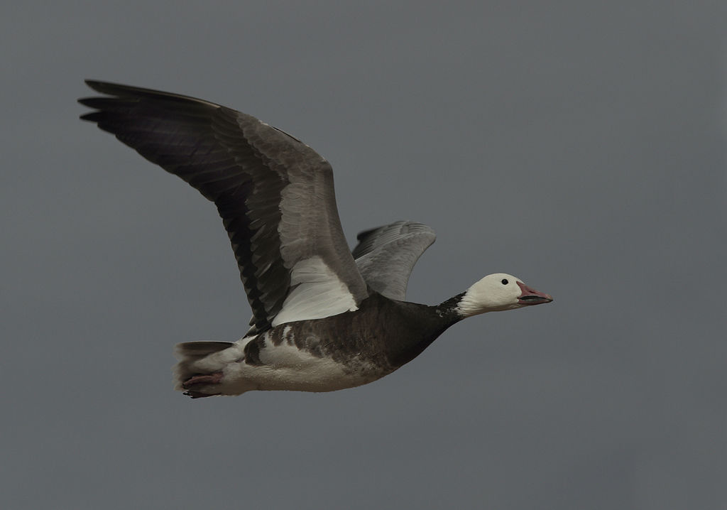 Snow Goose ( juvenile)