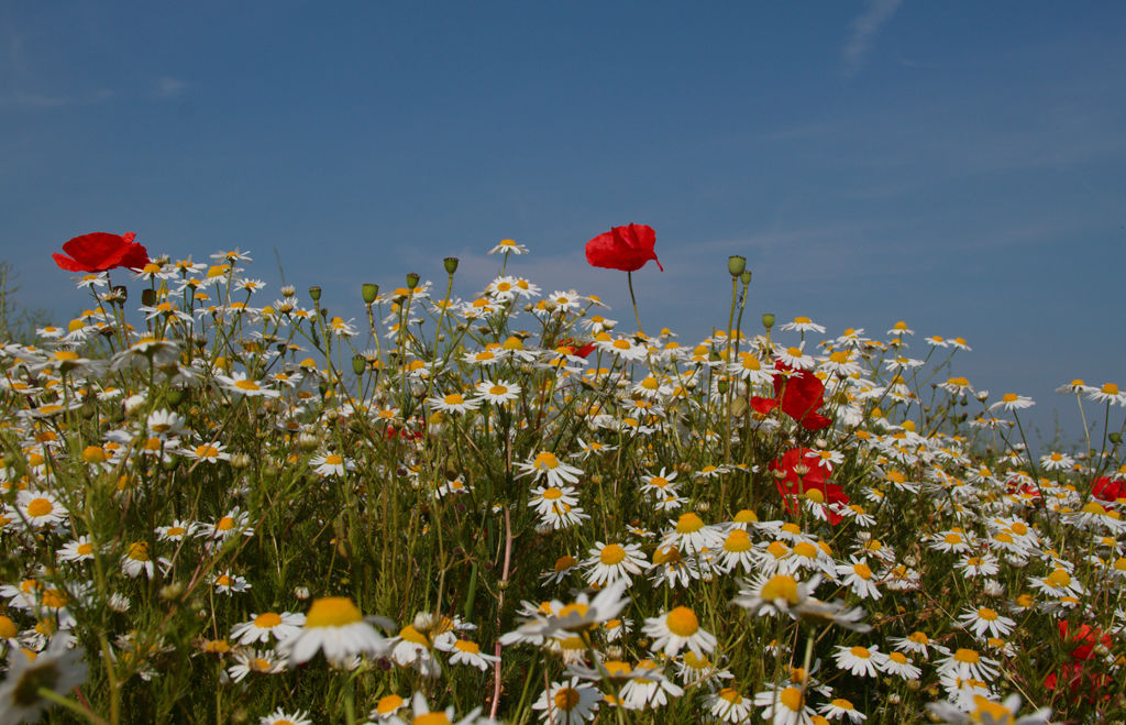 Poppies and Daisies