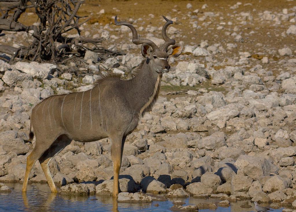Giant Kudu