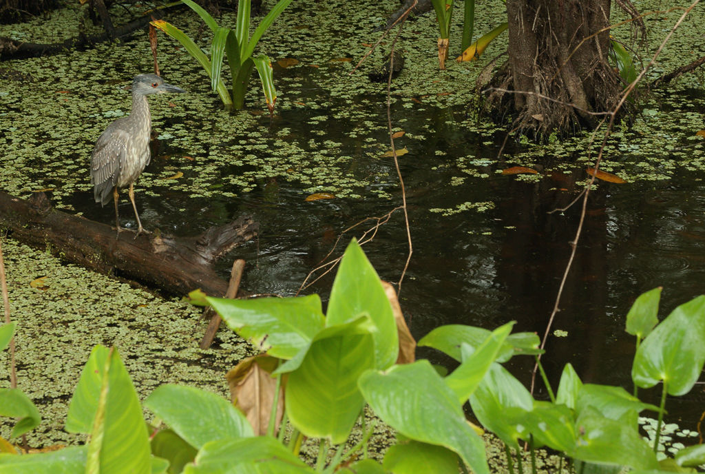 immature heron (unknown)