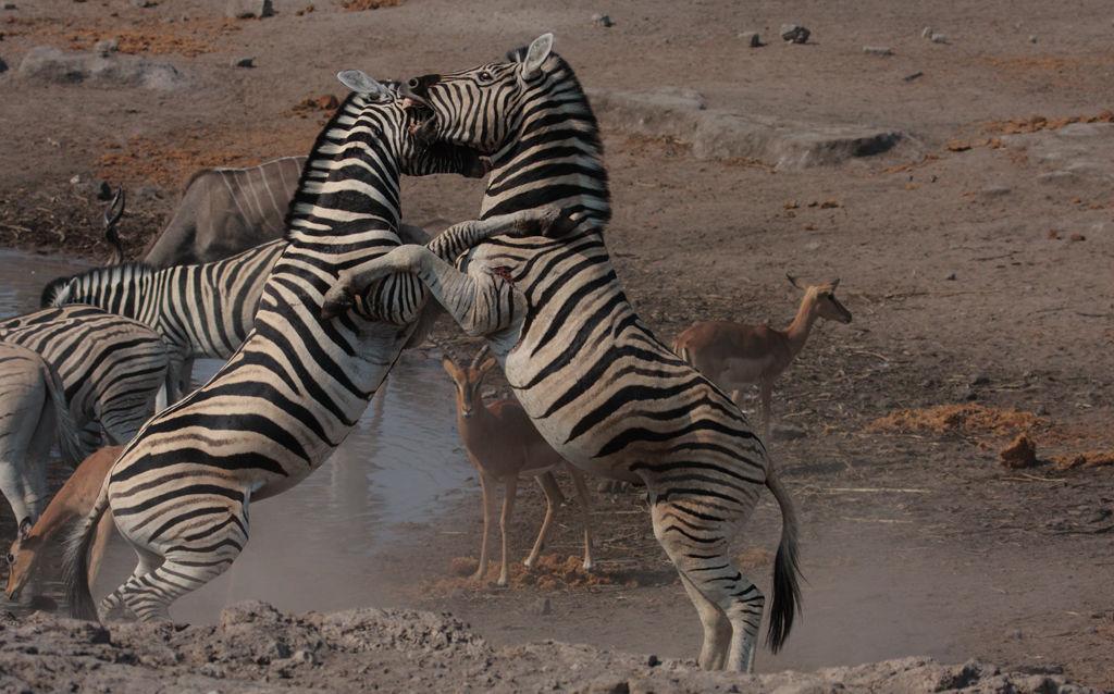 Fighting Zebras