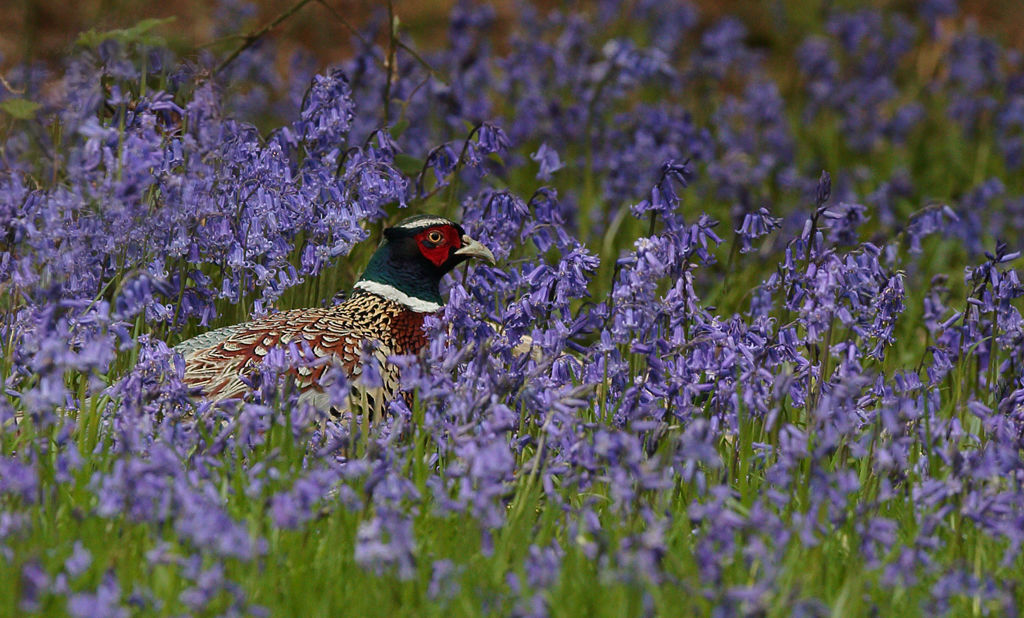 Male Pheasant in Bluebells