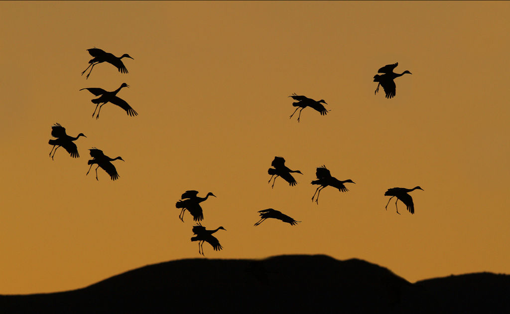 Cranes Approaching Roost Site