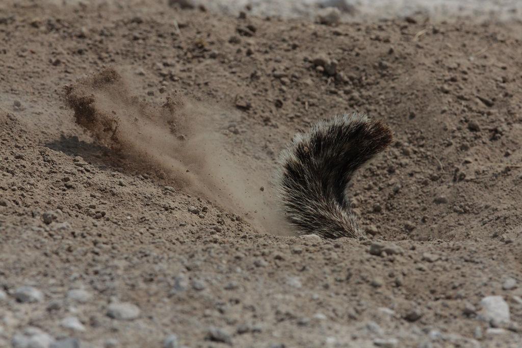 Ground Squirrel digging