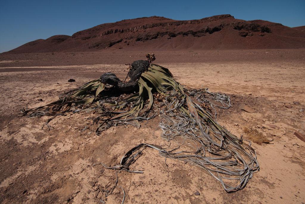 Welwitschia (Namibia's national plant)