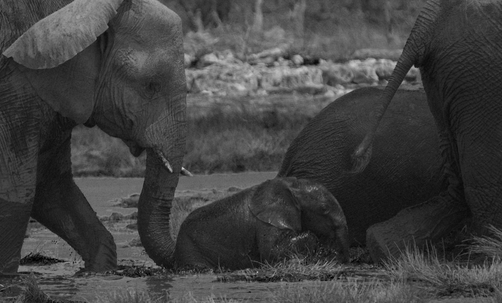 Helping trunk at water hole