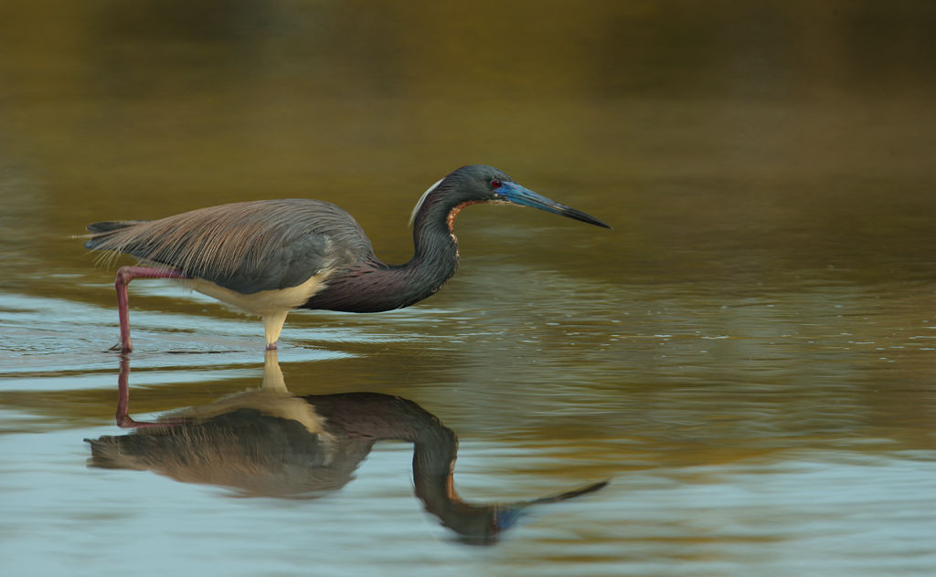 Tri-Coloured Heron