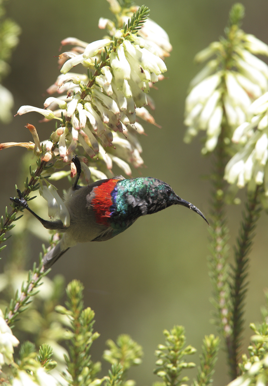 Double Breasted Sunbird