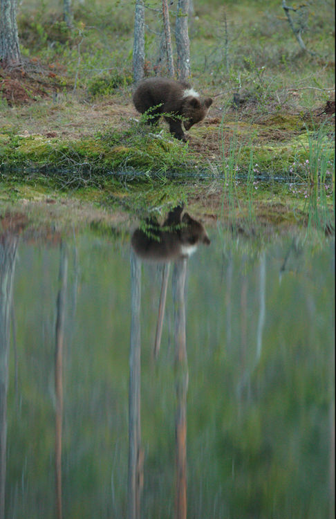 Bear cub (Finland)