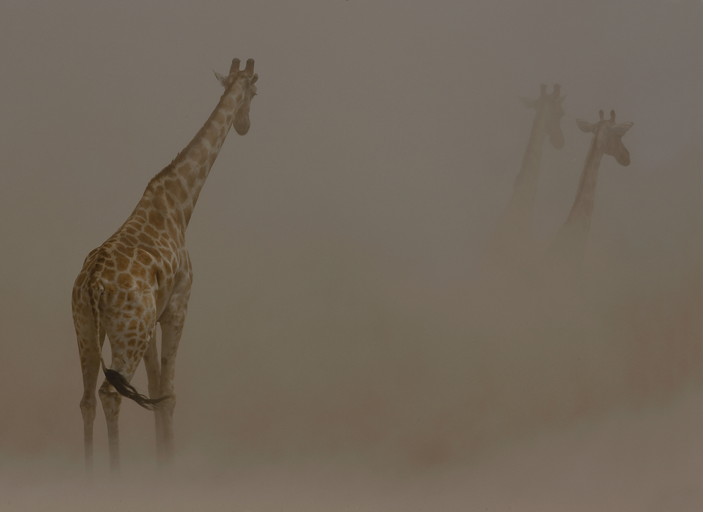 Giraffes in dust storm