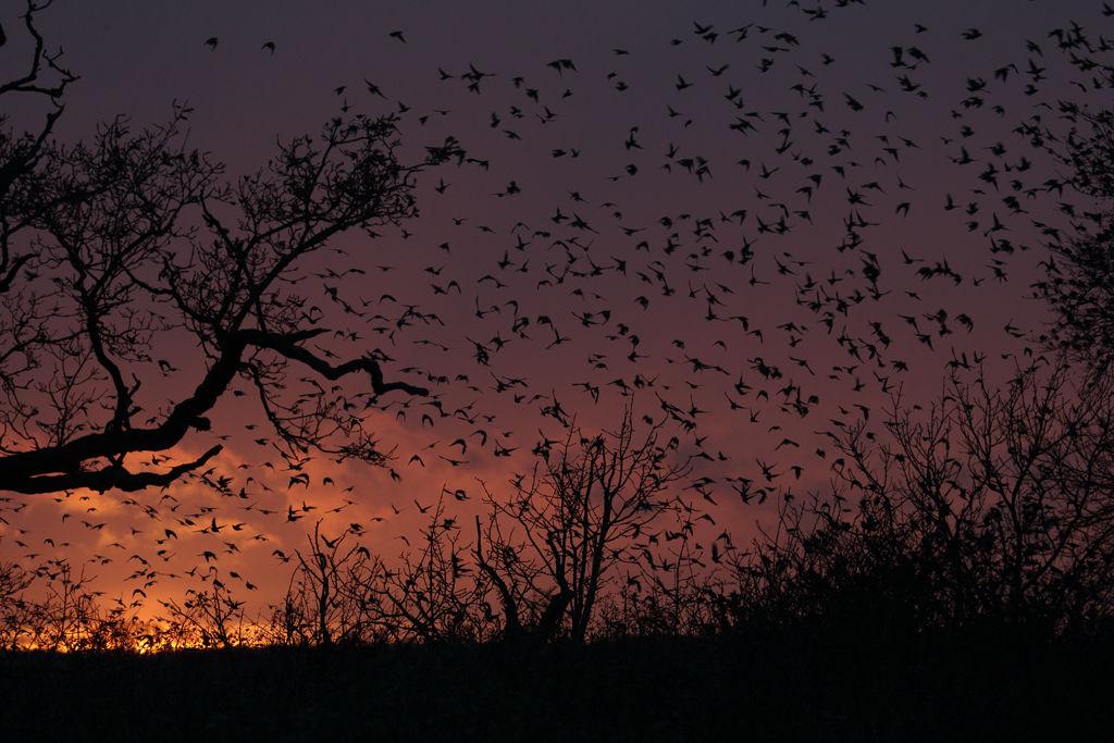 Swarming Starlings at dusk