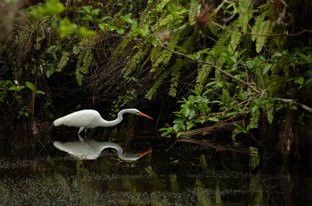 Greater Egret (Everglades)