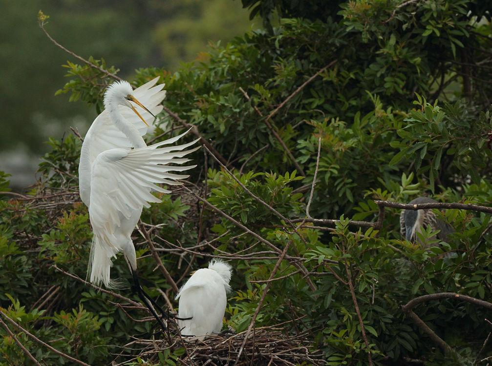 Greater Egret