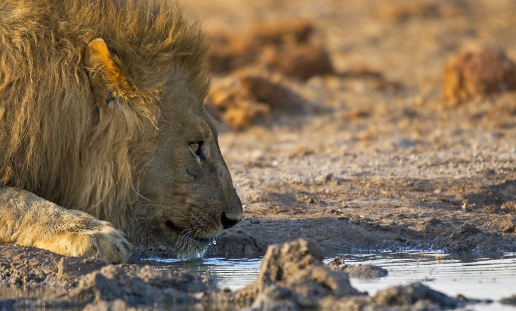 Lion at water hole