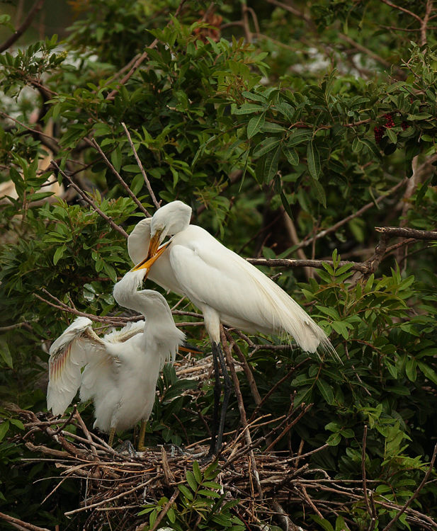 Greater Egret Feeding Young