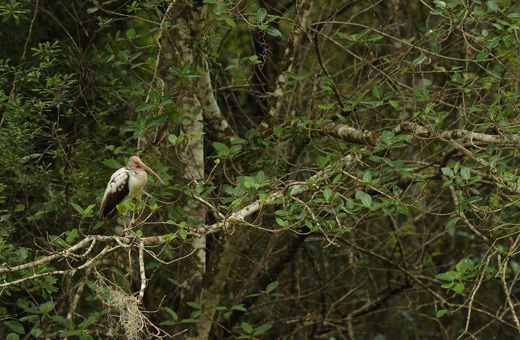 Juvenile White Ibis