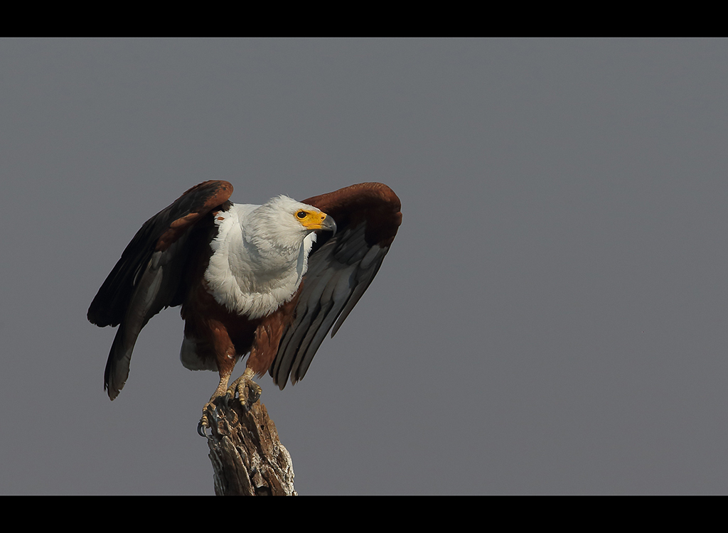 African Fish Eagle no1