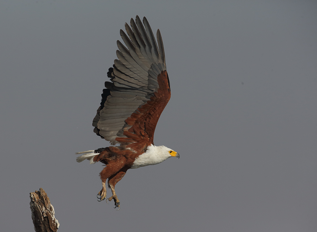African Fish Eagle no4