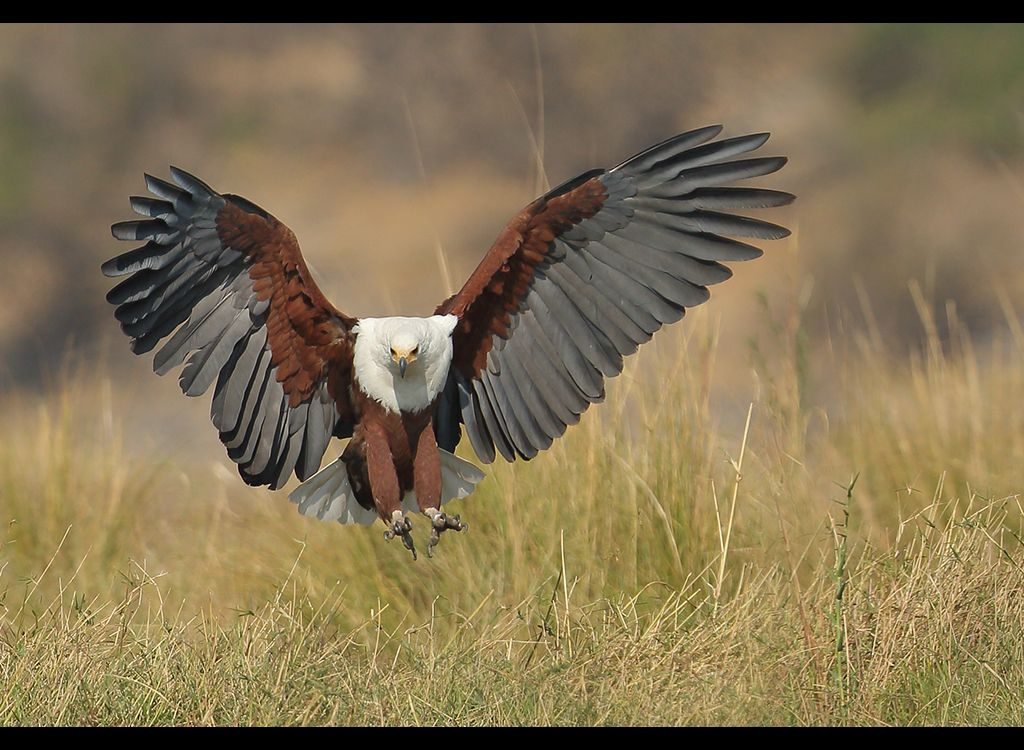 African Fish Eagle no5