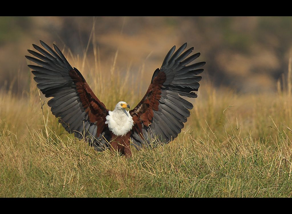 African Fish Eagle no6