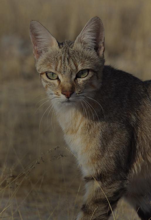 African Wild Cat.