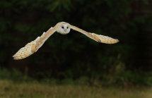 Barn Owl 1.