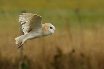 Barn Owl 2.
