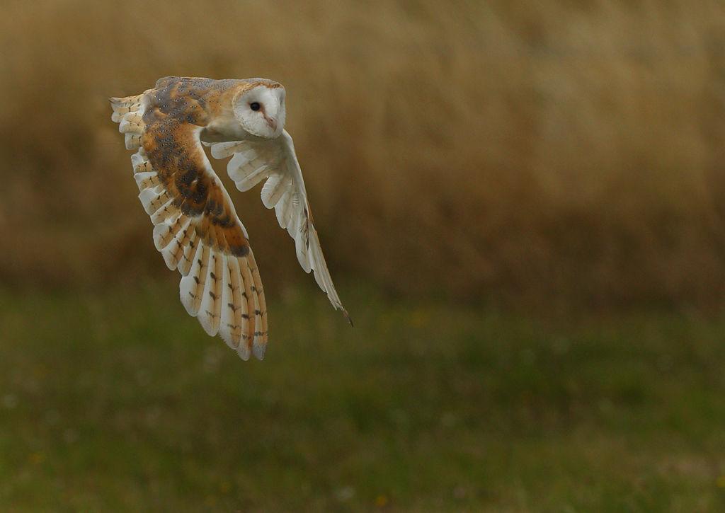 Barn Owl 4.