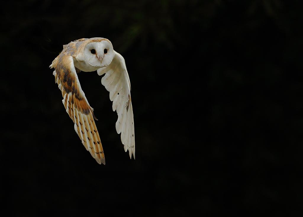 Barn Owl 5.