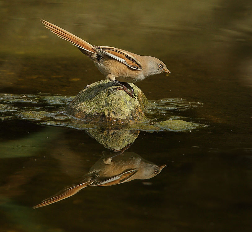 Bearded Tit Reflection.