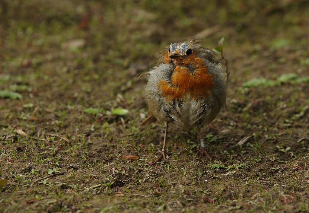 Bedraggled Robin.