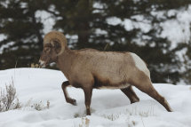 Big Horned Sheep (2)