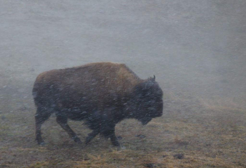 Bison in storm.