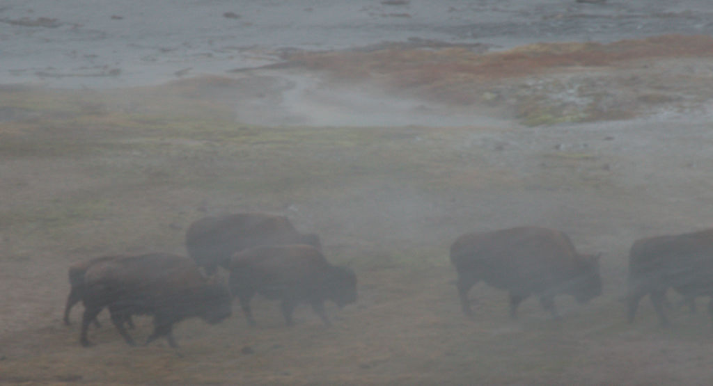 Bison in sulphur steam.