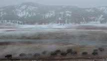 Bison in sulphur steam