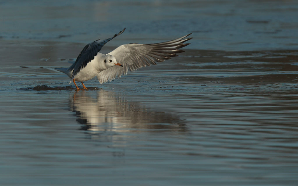 Black Headed Gull (winter).
