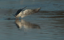 Black Headed Gull (winter).