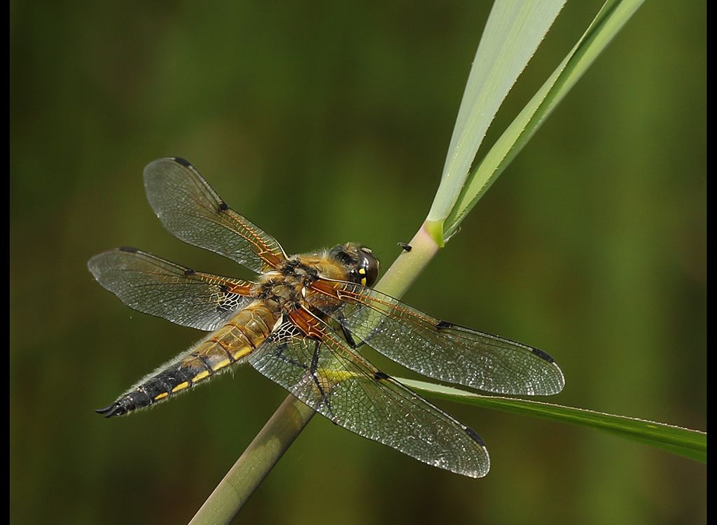 Broad Bodied Chaser (F) no 1