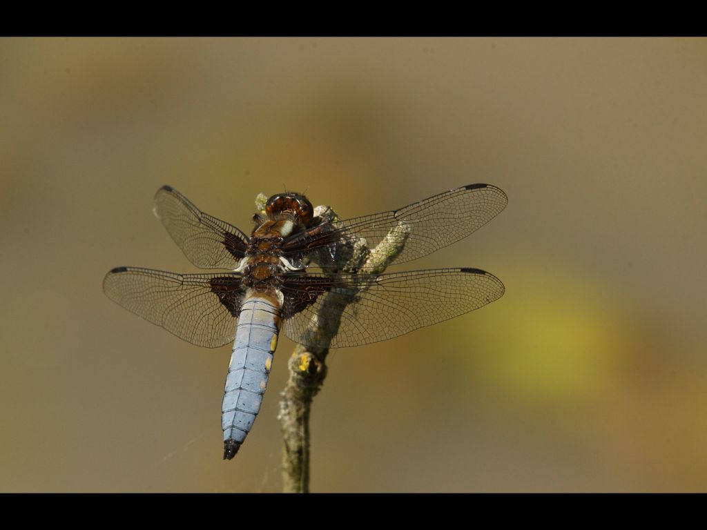 Broad Bodied Chaser (M)
