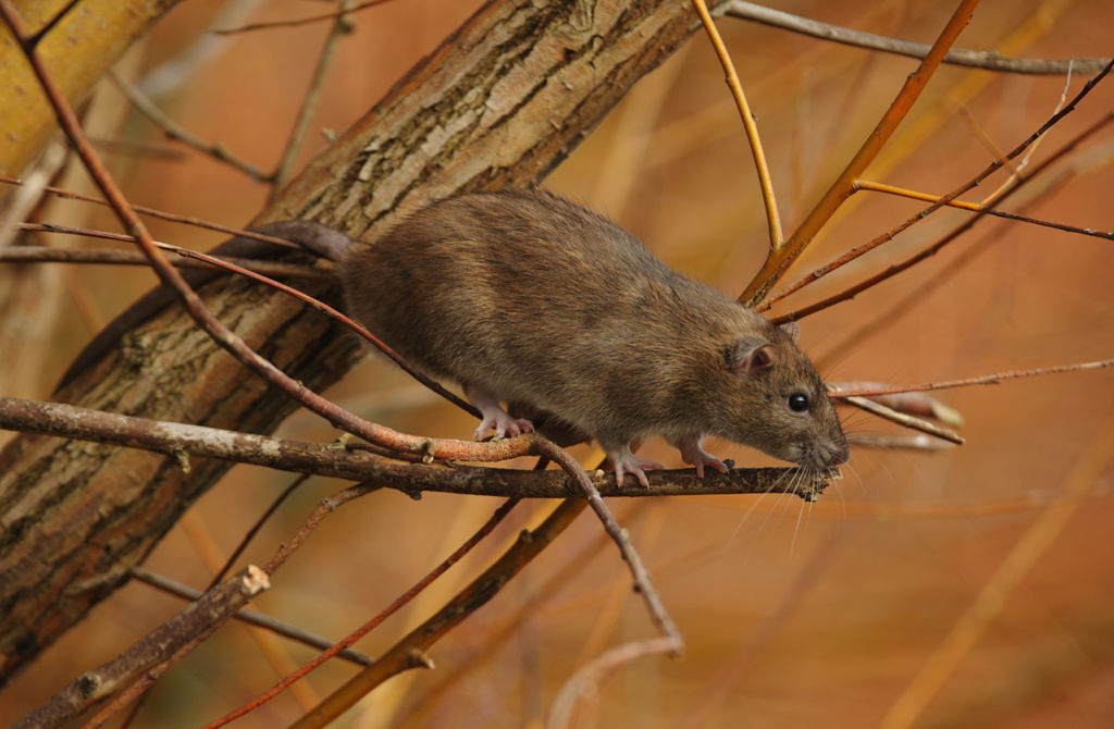 Brown rat.