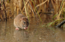 Brown rat on ice.