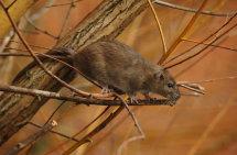 Brown rat.