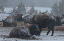 Bison in blizzard