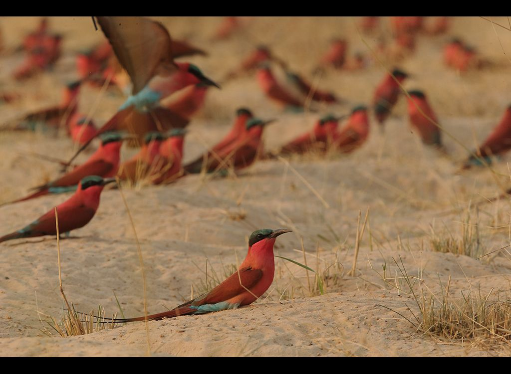 Carmine Bee Eaters no 5
