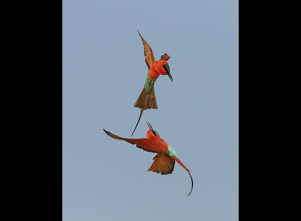 Carmine Bee Eaters no 9