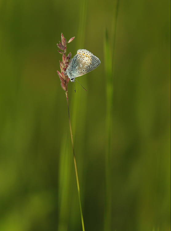 Common blue (2)