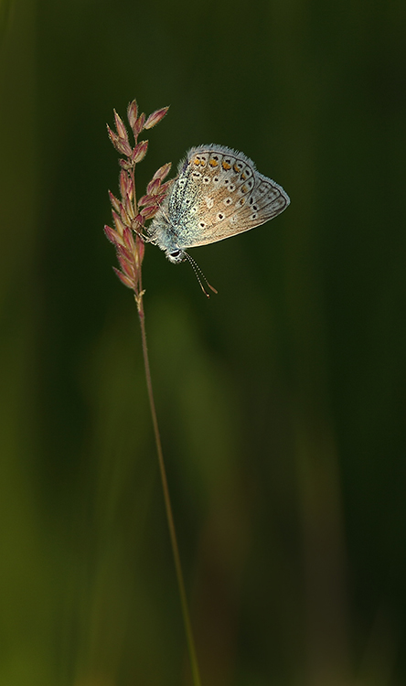 Common blue (3)