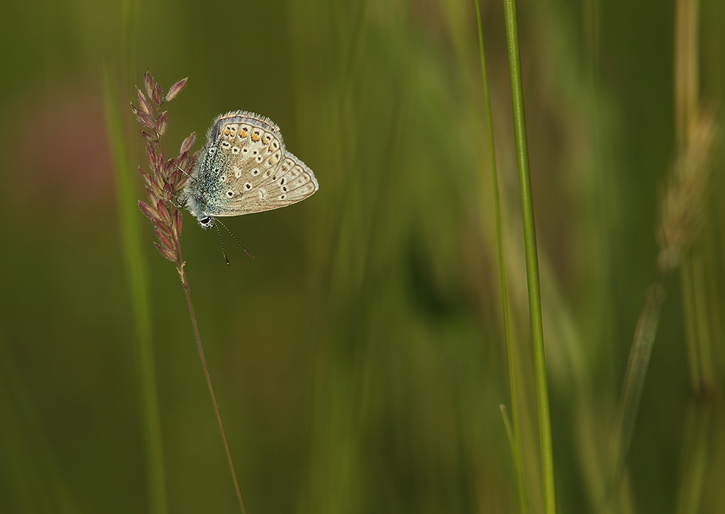 Common blue (4)