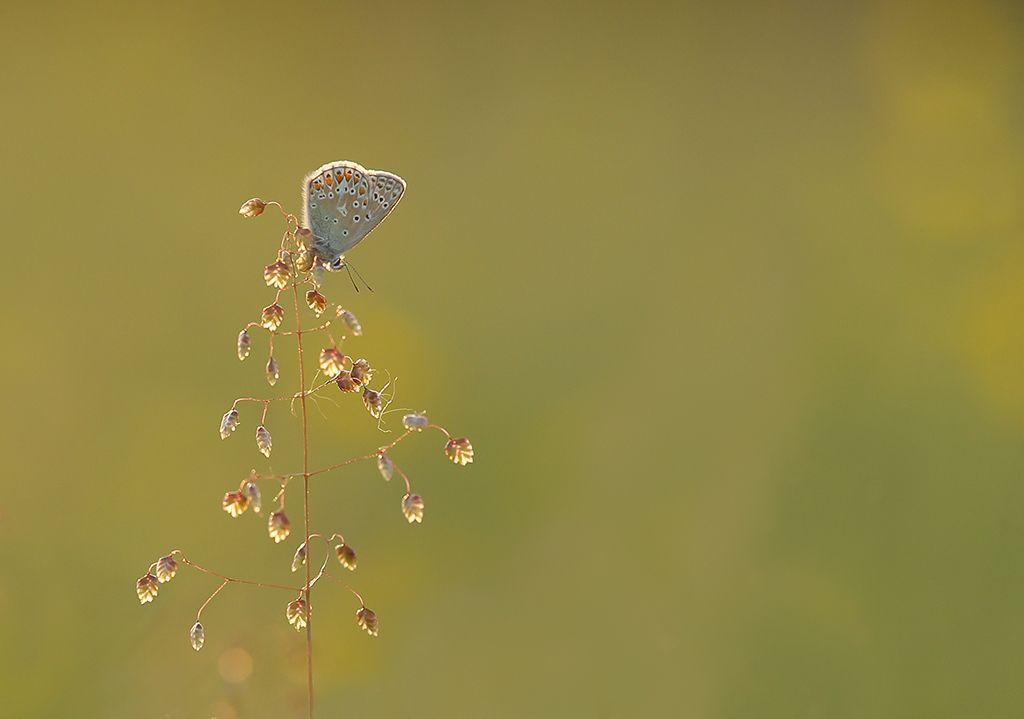 Common blue (5)